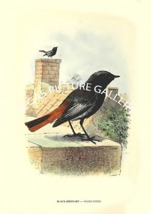 BLACK REDSTART ---- SYLVIA TITHYS